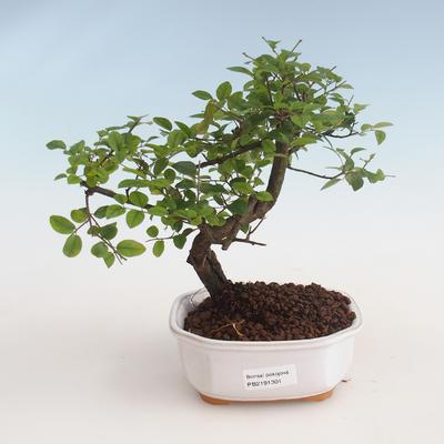 Pokojová bonsai - Sagerécie thea - Sagerécie thea 412-PB2191301 - 1