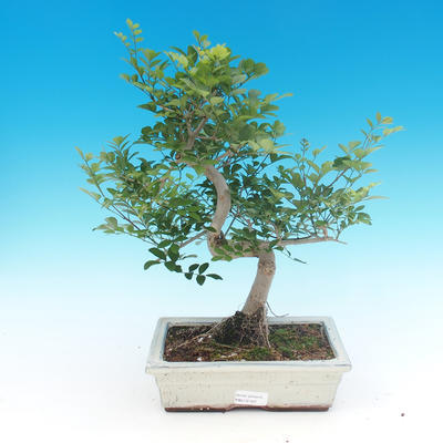 Pokojová bonsai - Fraxinus uhdeii - pokojový Jasan - 1