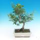 Pokojová bonsai - Fraxinus uhdeii - pokojový Jasan - 1/2