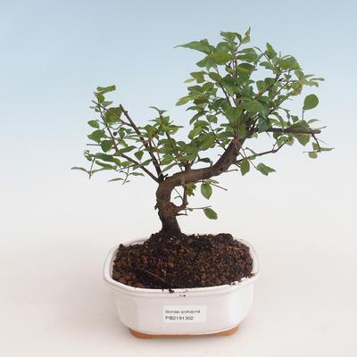 Pokojová bonsai - Sagerécie thea - Sagerécie thea 412-PB2191302 - 1