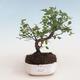Pokojová bonsai - Sagerécie thea - Sagerécie thea 412-PB2191302 - 1/4