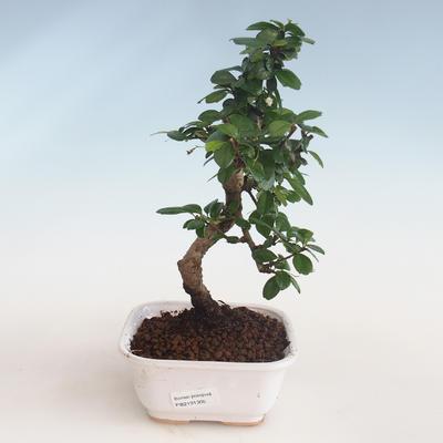 Pokojová bonsai - Carmona macrophylla - Čaj fuki PB2191305 - 1