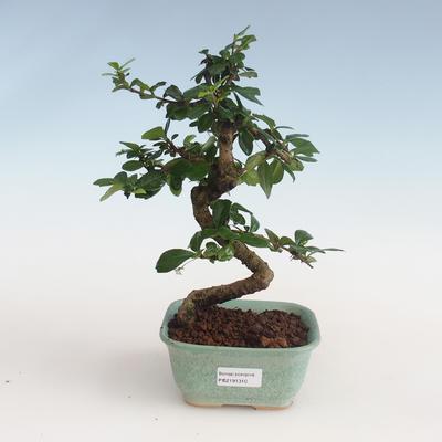 Pokojová bonsai - Carmona macrophylla - Čaj fuki PB2191310 - 1