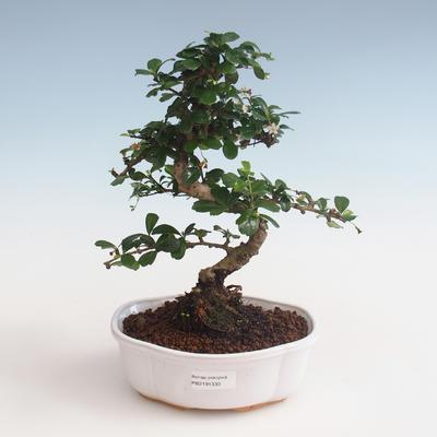 Pokojová bonsai - Carmona macrophylla - Čaj fuki PB2191330 - 1