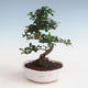 Pokojová bonsai - Carmona macrophylla - Čaj fuki PB2191330 - 1/5