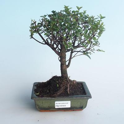 Pokojová bonsai - Sagerécie thea - Sagerécie thea 414-PB2191409 - 1
