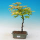 Acer palmatum aureum - Javor dlaňolistý zlatý - 1/2