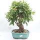 Vonkajší bonsai -Malus halliana - Maloplodé jabloň - 1/6
