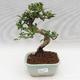 Venkovní bonsai -Pseudolarix amabis-Pamodřín - 1/3