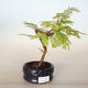 Venkovní bonsai - Metasequoia glyptostroboides - Metasekvoje čínská - 1/2