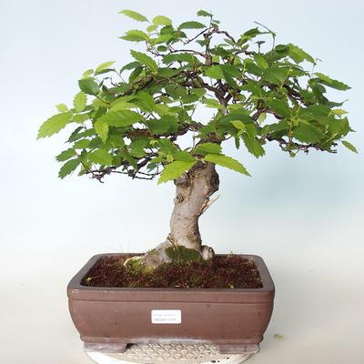 Venkovní bonsai - Zelkova - 1