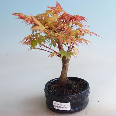 Venkovní bonsai - Javor dlanitolistý - Acer palmatum Orange - 1