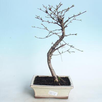 Venkovní bonsai - Pamodřín - 1