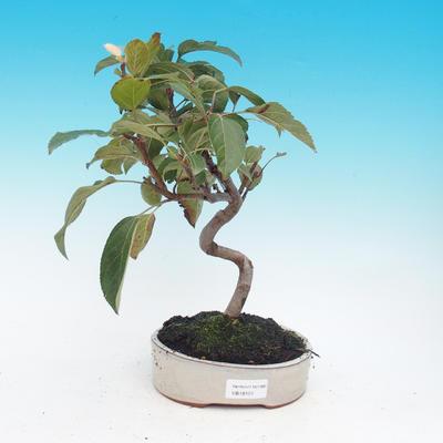 Venkovní bonsai -Malus halliana - Maloplodá jabloň - 1