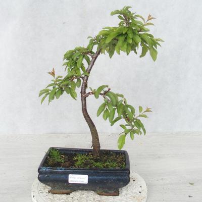 Venkovní bonsai - Prunus spinosa - Trnka - 1