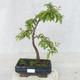 Venkovní bonsai - Prunus spinosa - Trnka - 1/2