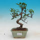 Pokojová bonsai - Ficus kimmen -  malolistý fíkus - 1/2
