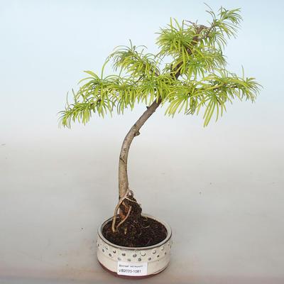 Venkovní bonsai -Pseudolarix amabis-Pamodřín - 1