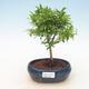 Pokojová bonsai - Syzygium - Pimentovník - 1/4