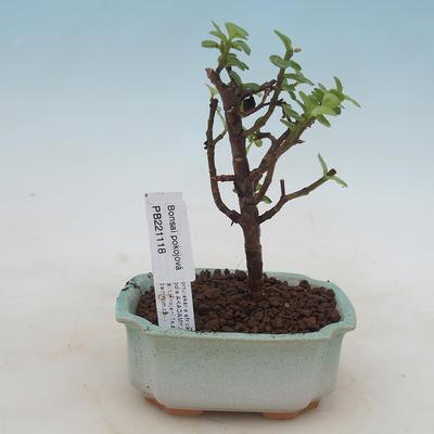 Pokojová bonsai - Portulakaria Afra - Tlustice - 1