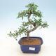 Pokojová bonsai - Portulakaria Afra - Tlustice - 1/2