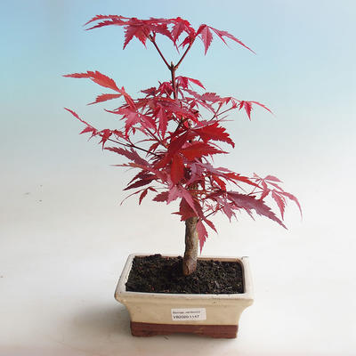 Venkovní bonsai - Acer palm. Atropurpureum-Javor dlanitolistý - 1