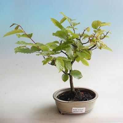 Venkovní bonsai - Habr obecný - Carpinus betulus