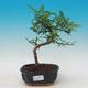 Pokojová bonsai - Zantoxylum piperitum - Pepřovník - 1/4