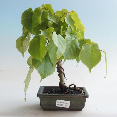 Venkovní bonsai - Lípa srdčitá - Tilia cordata