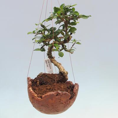 Kokedama v keramice - Čaj-fuki - Carmona macrophylla - 1