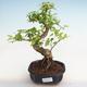 Pokojová bonsai-Ulmus Parvifolia-Malolistý jilm - 1/4
