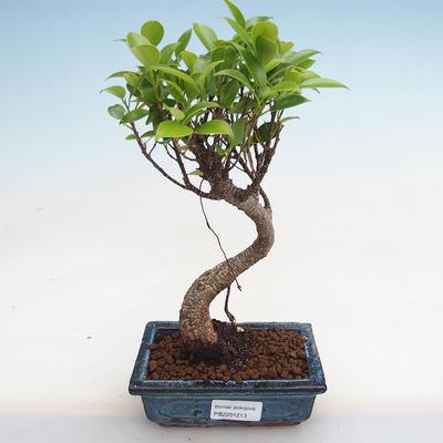 Izbová bonsai - Podocarpus - Kamenný tis PB2191213 - 1