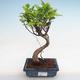 Izbová bonsai - Podocarpus - Kamenný tis PB2191213 - 1/7