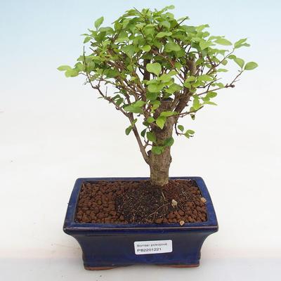 Izbová bonsai - Fraxinus angustifolia - izbový Jaseň PB2191221 - 1
