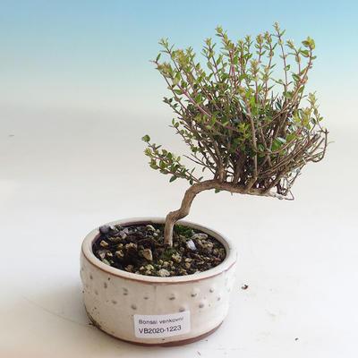 Venkovní bonsai-Lonicera nitida-Zimolez - 1