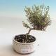 Venkovní bonsai-Lonicera nitida-Zimolez - 1/2