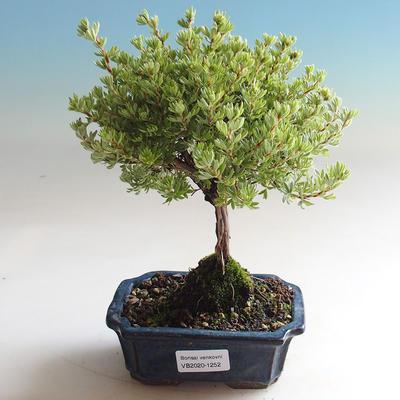 Venkovní bonsai-Mochna křovitá - Dasiphora fruticosa žlutá - 1