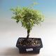 Venkovní bonsai-Mochna křovitá - Dasiphora fruticosa žlutá - 1/3