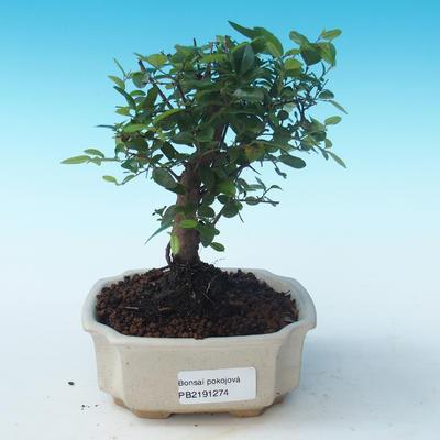Pokojová bonsai - Sagerécie thea - Sagerécie thea PB2191274 - 1