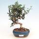 Izbová bonsai - Olea europaea sylvestris -Oliva európska drobnolistá - 1/5
