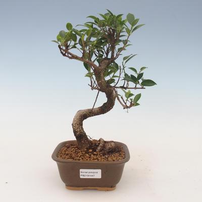 Pokojová bonsai - Ficus kimmen -  malolistý fíkus 2191447