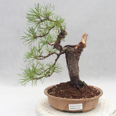 Vonkajšie bonsai - Pinus sylvestris - Borovica lesná - 1