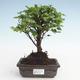 Pokojová bonsai - Sagerécie thea - Sagerécie thea  PB2191475 - 1/4