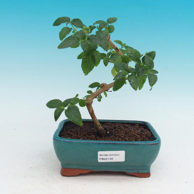 Pokojová bonsai-Lanthana camara-Libora proměnlivá - 1