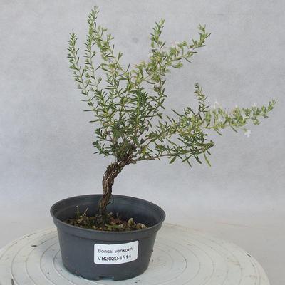 Vonkajšie bonsai - Saturejka horská - Satureja montana - 1
