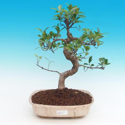 Pokojová bonsai - Ficus kimmen -  malolistý fíkus - 1