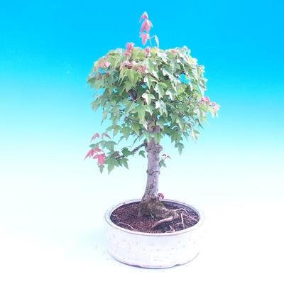 Venkovní bonsai - Javor Buergerianum - Javor Burgerův - 1
