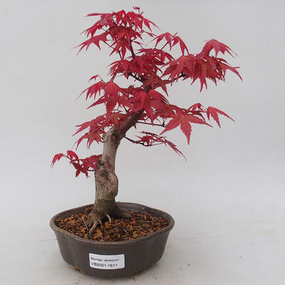 Vonkajšie bonsai - Javor palmatum DESHOJO - Javor dlaňolistý - 1