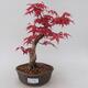 Vonkajšie bonsai - Javor palmatum DESHOJO - Javor dlaňolistý - 1/5