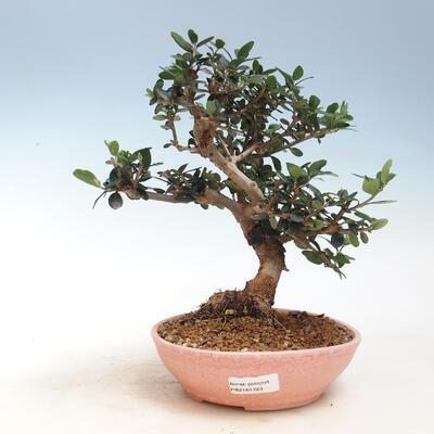 Izbová bonsai - Olea europaea sylvestris -Oliva európska drobnolistá - 1